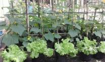 kebun-sayuran